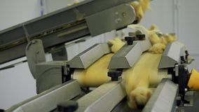 Chicken Farm. Agriculture. stock video