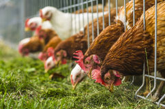 Chicken farm. Chiken eating grass at chicken farm royalty free stock photo