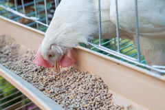Chicken in the farm Stock Photo