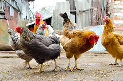 Chicken on a farm Royalty Free Stock Image