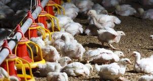 chicken farm stock photos