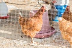 Chicken farm. Feeding chickens in a chicken farm stock image