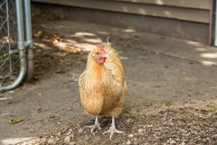 Chicken On The Farm In Illinois Royalty Free Stock Image