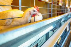 Chicken in farm incubator or coop Stock Photos