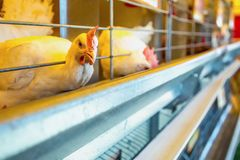 Chicken in farm incubator or coop Stock Image