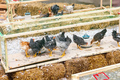 Chicken farm peck forage. Some hens in the hen house. Eat grain in the pen, black chicken and one red royalty free stock image