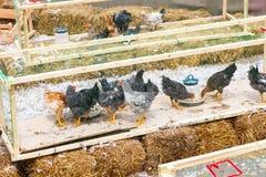 Chicken farm peck forage Royalty Free Stock Image
