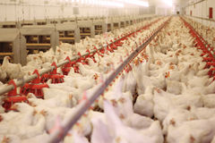 Chicken Farm, Poultry. Chickens drink water on the farm Stock Photo
