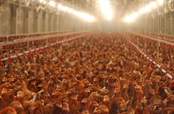 Chicken Farm, Poultry. Production of chickens on the farm Stock Photography