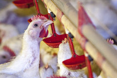 Chicken Farm. Poultry in Santa Catarina state, Brazil Stock Photos