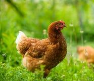 Chicken at the farm Stock Photos