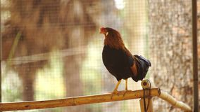 Chicken in farm stock video