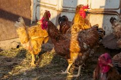 Chicken at the farm Stock Photography