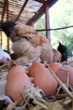 The chicken farm stock images