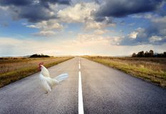 Chicken Walking On Highway Road stock photography
