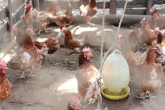 Chicken farming. The image of the local chicken farming in Thailand Stock Photo