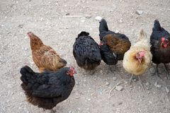 Chicken farms and chickens Stock Images