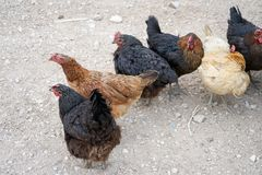 Chicken farms and chickens Royalty Free Stock Image