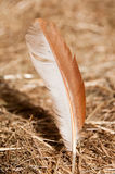 Chicken Feather Royalty Free Stock Images