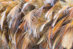 Chicken Feather Stock Photo