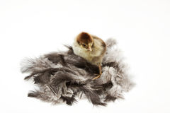 Chicken on feathers. Isolated on a white background Stock Photo