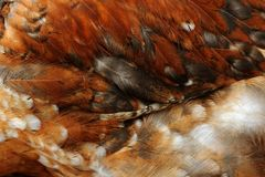 Chicken Feathers Close-Up Stock Photo