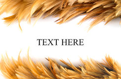 Chicken Feathers Frame royalty free stock images