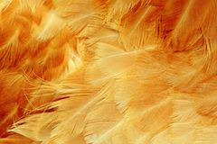 Chicken Feathers Macro Royalty Free Stock Photography