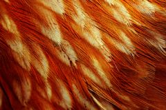 Chicken Feathers Macro Stock Image