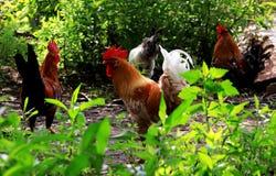 Chicken Royalty Free Stock Photos