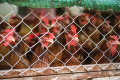 Chicken feeding in cage agriculture indoors chicken farming product for egg stock photos
