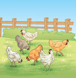 Chicken feeding in the farm. Some chickens are illustrated in the farm during feeding Stock Photo
