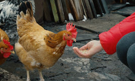 Chicken feeding from woman palm Stock Photo