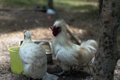 Rooster and female chicken are eating food. royalty free stock photos