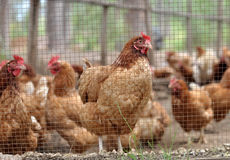 Chicken within fences Royalty Free Stock Image
