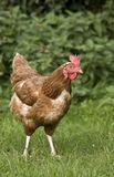 Chicken In A Field Royalty Free Stock Photos