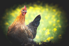 Chicken in the field Royalty Free Stock Photography