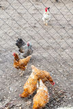 Chicken flock on backyard Royalty Free Stock Images