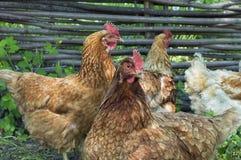 Chicken flock closeup Stock Photos