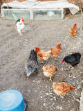 Chicken flock on poultry yard Royalty Free Stock Image
