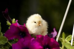 Chicken on a flower Stock Images