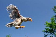 Chicken Flying in the Sky Royalty Free Stock Image