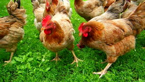 Chicken free green farm stock video footage