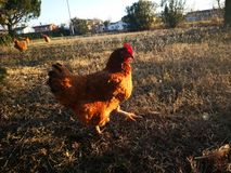 Chicken free to walk in a garden royalty free stock photos