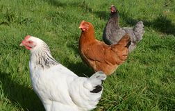 Chicken, Galliformes, Rooster, Poultry