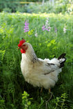 Chicken in garden Royalty Free Stock Image