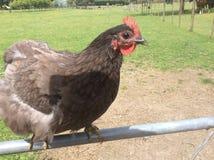 Chicken on Gate. Black Chook on gate Stock Photo