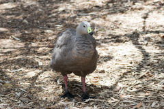 Chicken goose - Cape Barren goose - Cereopsis novaehollandiae - stock photography
