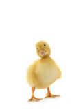 Chicken goose Royalty Free Stock Images