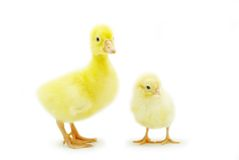 Chicken and gosling. Cute little baby chicken and gosling isolated on white background Royalty Free Stock Image
